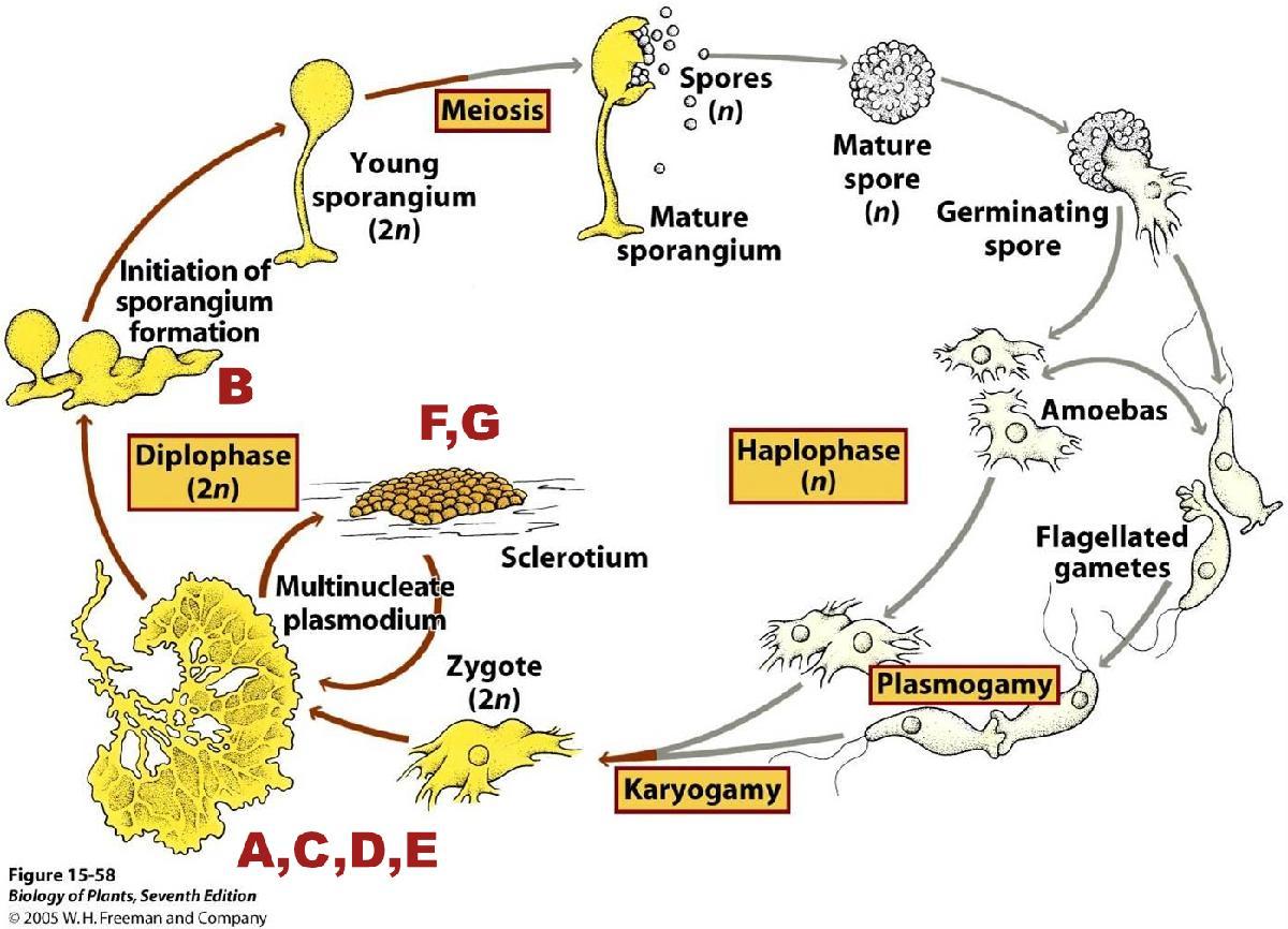 Schéma du cycle de vie de Physarum Polycephalum