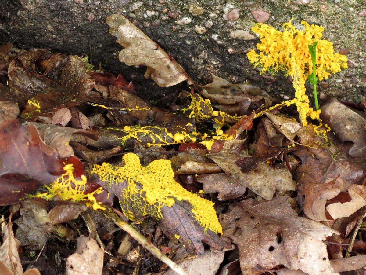 Physarum polycephalum en milieu naturel